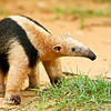 Collared Anteater<br /> Collared Anteater by Rio Negro, Pantanal, Brazil