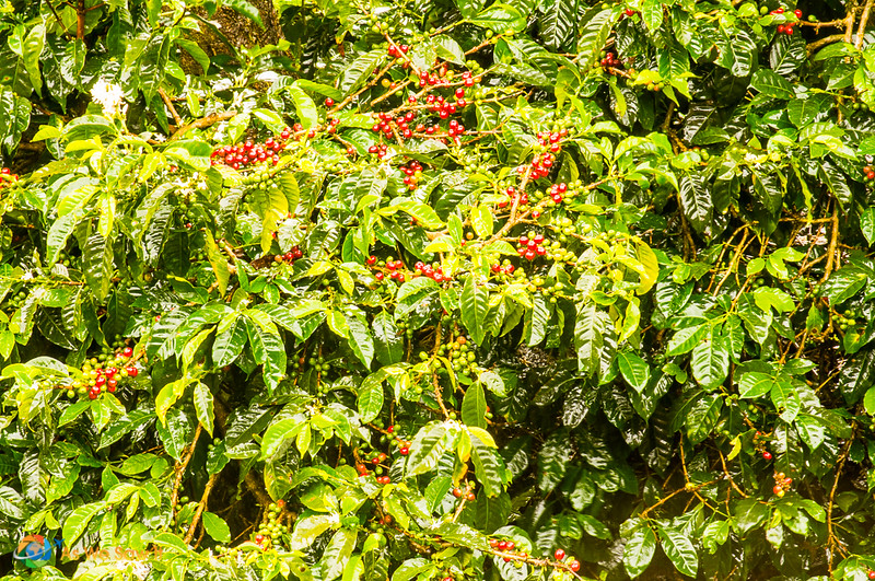 Coffee plants with ripe berries ready for harvest.