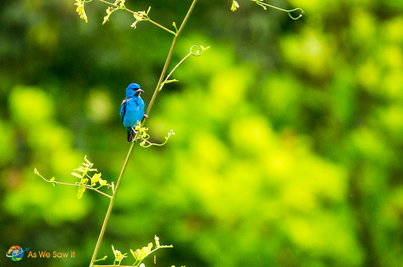 Beautiful blue colored bird at Soberania National Park in Panama