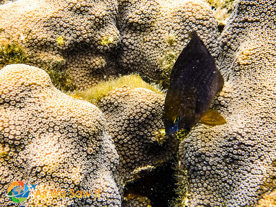 Dusky Damselfish attacking the camera to protect the nest.