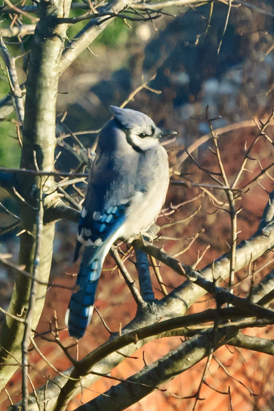 Cold Blue Jay Soaking Up the Morning Sun