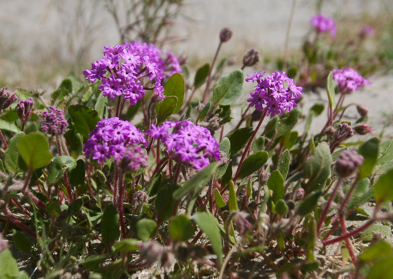 Desert flowers just starting to bloom