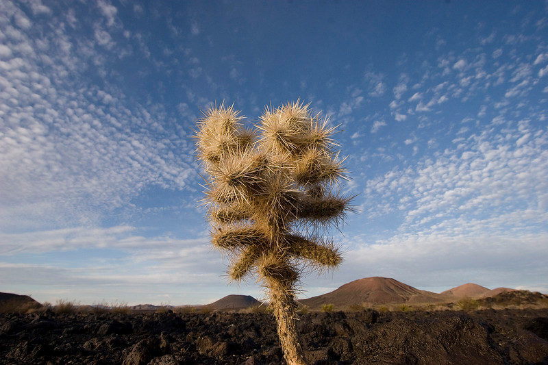 Pencil Cholla on a volcanic tableau in the Cima Lava field volcanic region
