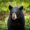 Black bear, Goose Bay, Labrador