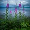 Fireweed, Goose Bay, Labrador