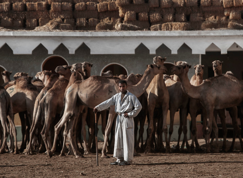 Camel merchant at the Birqash camel market outside Cairo. Before the area became increasingly urbanised, it was the final destination for camels brought from as far south as Sudan and the Horn of Africa. For centuries these animals were sold in the Friday market. The market still exists today, but it is no longer as important as it used to be at the turn of 20th century.   Outside Cairo, Egypt, 2010.