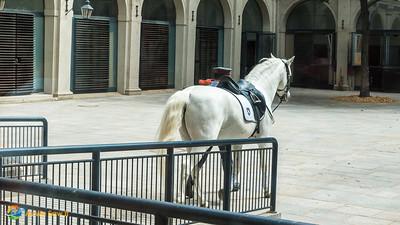 Lipizzaner horse at the Spanish Riding School