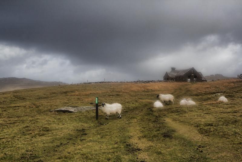 Sheep in my path