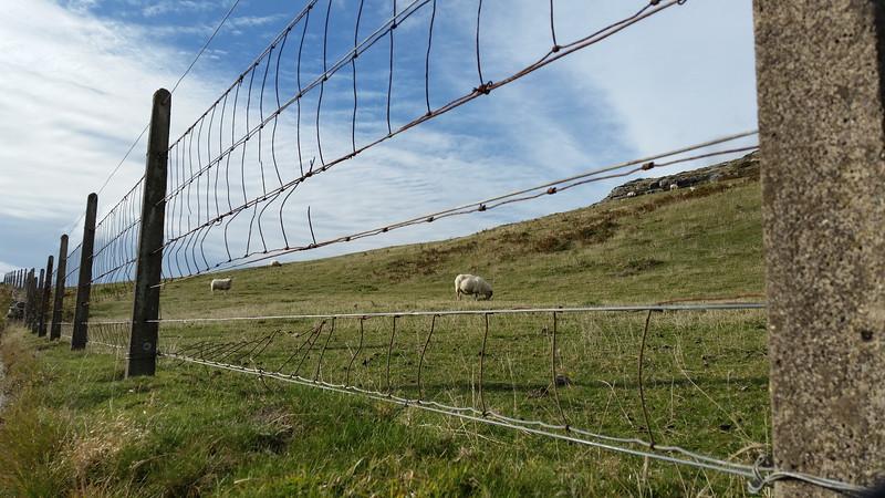 Sheep graze on Mizen Head