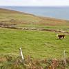 Grazing cow on Mizen Head
