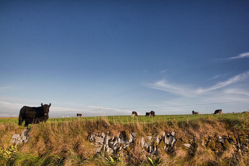 Cows in Ireland
