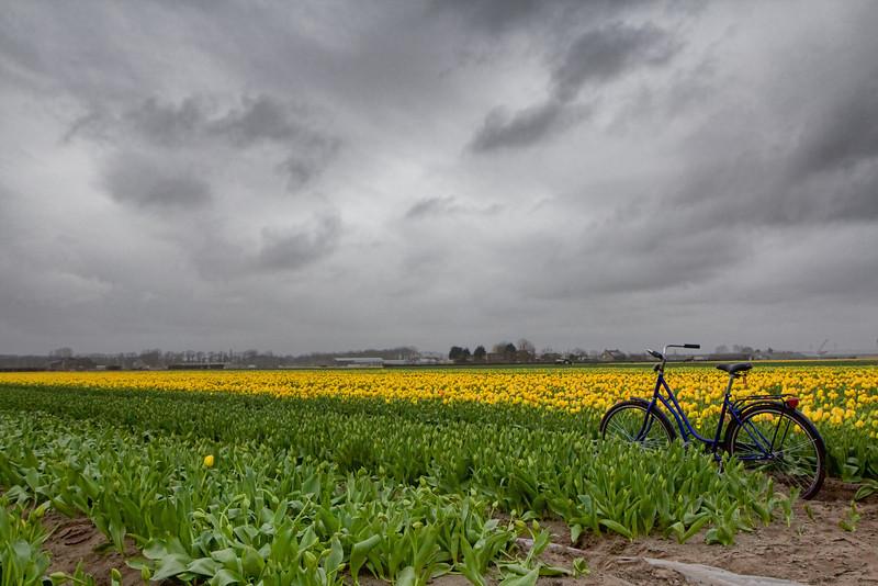 Amsterdam tulip fields