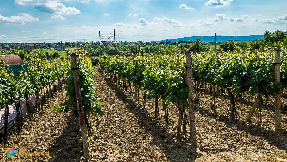 Vines at Kamil Kukumberg winery