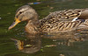 The female Mallard is a mottled light brown, like most female dabbling ducks, and has buff cheeks, eyebrow, throat and neck with a darker crown and eye-stripe.[11] However, both the female and male Mallards have distinct purple speculum edged with white, prominent in flight or at rest (though temporarily shed during the annual summer moult). Jim