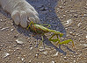 Kitten plays with its lunch ... A Praying Mantis at an outdoor cafe in Kotor, Montenegro, 0581