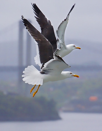 Sea gulls in flight