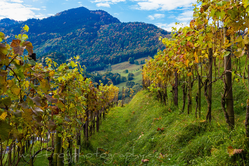 Grape vines, Switzerland