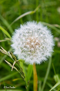 Dandelion seed head on Torget Island, Norway