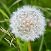 Dandelion seed head on Torget Island, Norway