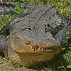 Florida Aligator