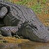 Slow Gator Creep
