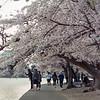 Cherry blossoms at sunrise. Tidal Basin. DC. Medium format film. Portra. Apr 2018.