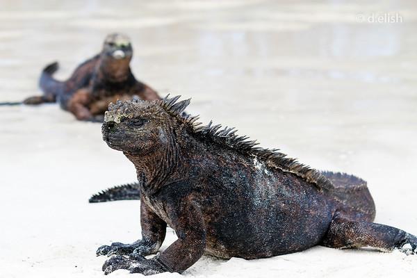 Beach Dragons