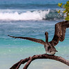 Bird Taking Flight in Tortuga Bay