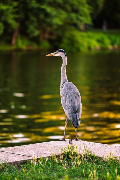 Heron at the Spree river