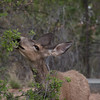 Friendly deer at Zion