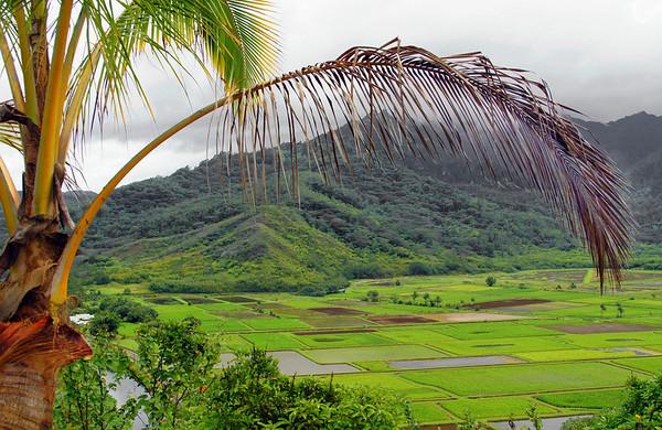 The Hanalei taro patches on Kauai, Hawaii, #0091