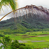 The Hanalei taro patches on Kauai, Hawaii, #0091