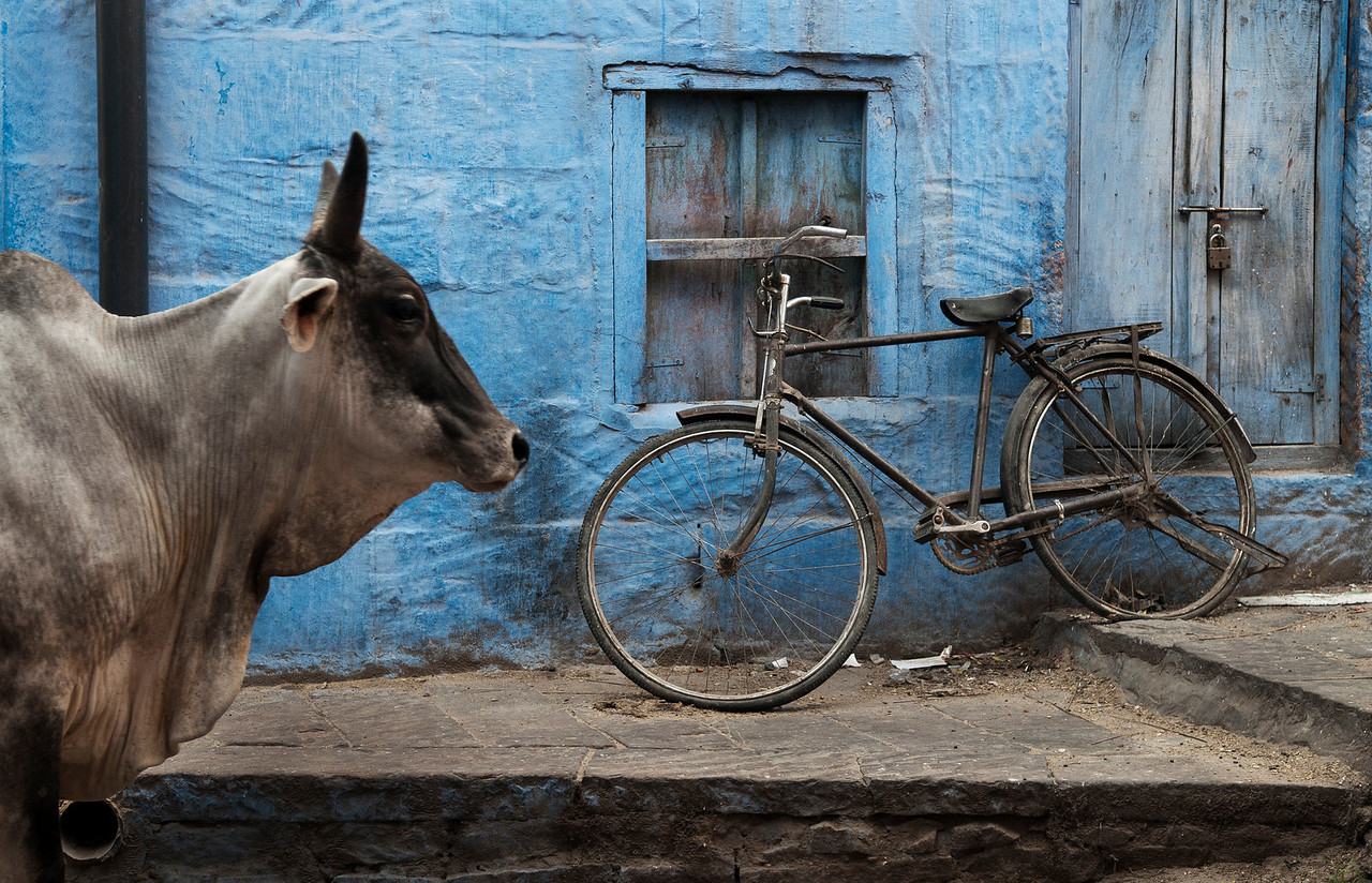Holy Cow in a street in Bundi.<br /> <br /> Rajasthan, India, 2011.