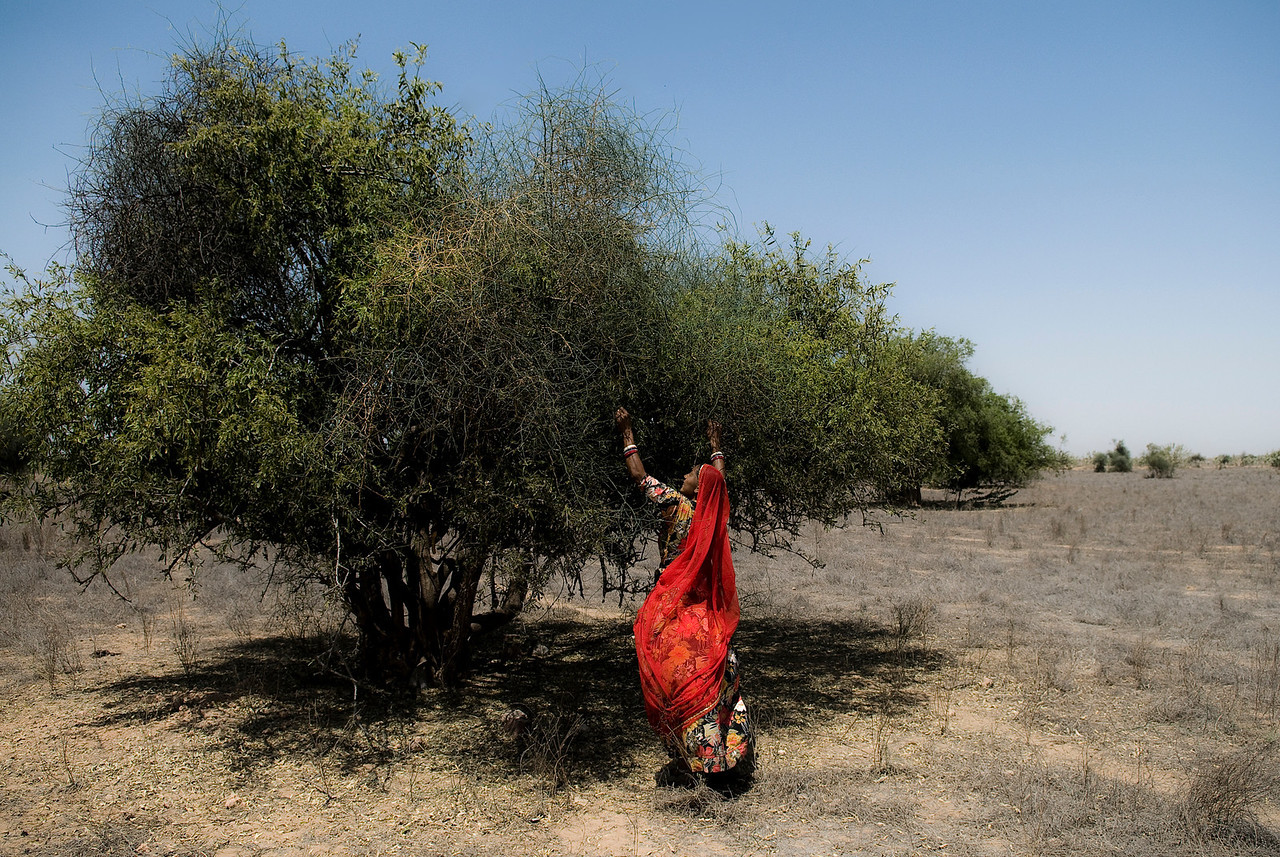 Woman harvesting olives in the Thar desert.<br /> <br /> Rajasthan, India, 2011.