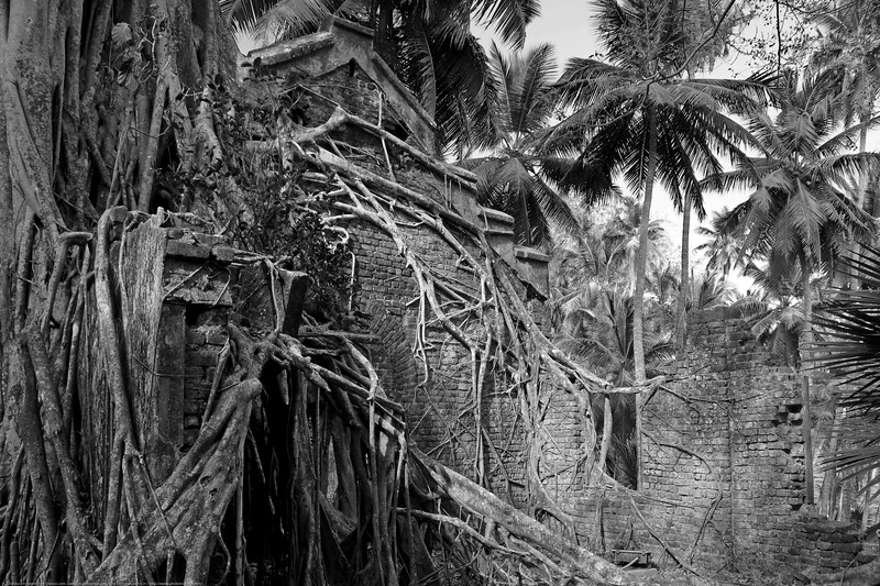 The tree, foilage, roots taken over all the manmade structures at Ross Island at Port Blair, A&N, Andaman & Nicobar, India.
