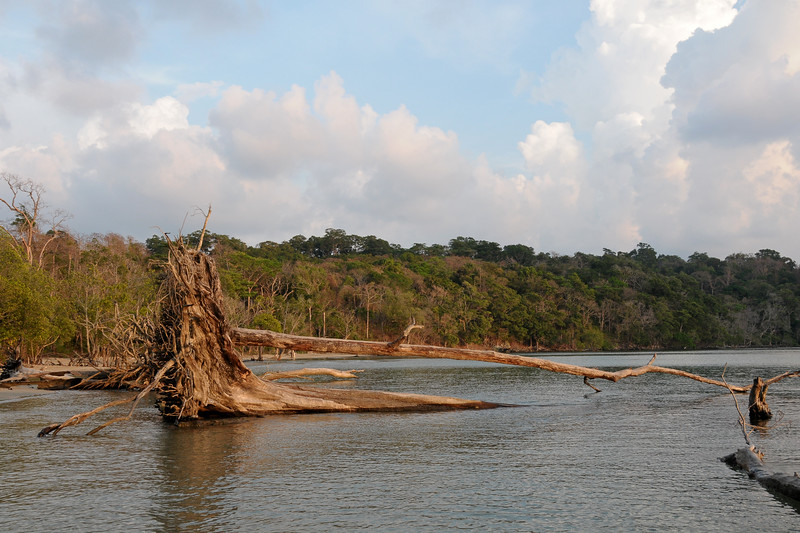 Some of the trees uprooted during the tsunami that hit Port Blair, Andaman Islands