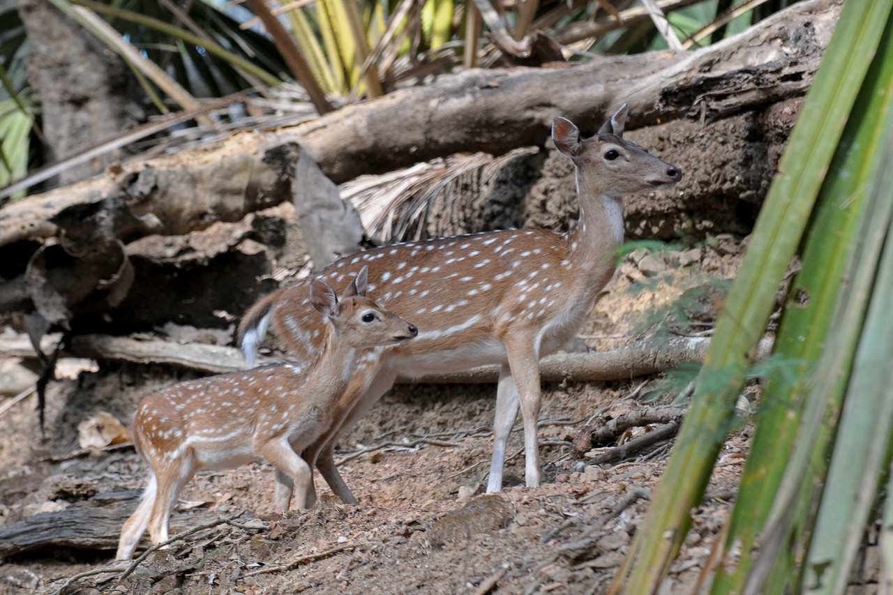 Deers at Ross Island at Port Blair, A&N, Andaman & Nicobar, India.