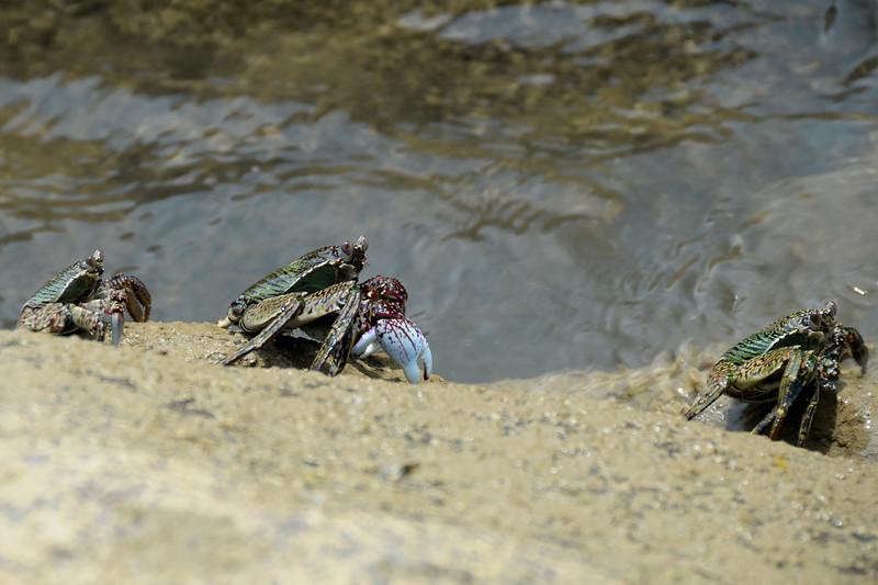 Crabs at an island in Port Blair, Andaman Islands