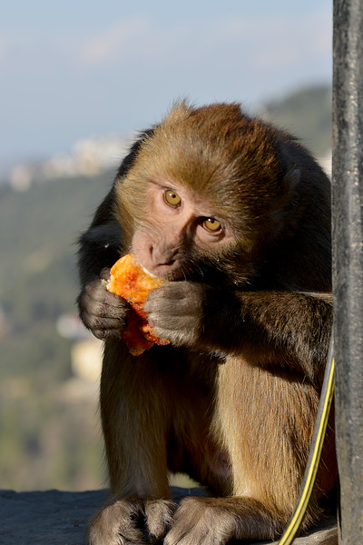 Monkeys have a field day. Monkey having a slice of Dominos pizza picked from the trash can. Shimla is the capital city of the Indian state of Himachal Pradesh, located in northern India at an elevation of 7,200 ft. Due to its weather and view it attracts many tourists. It is also the former capital of the British Raj.