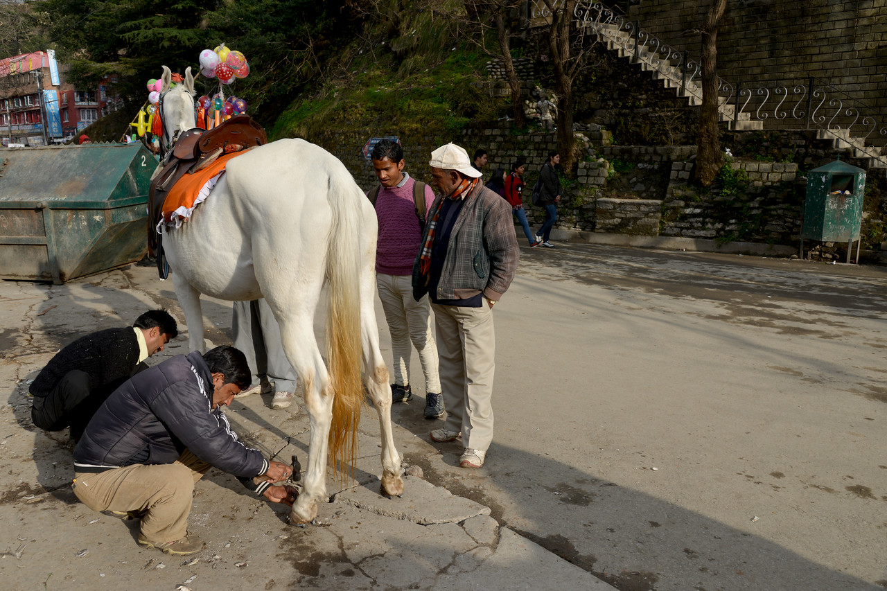 Fixing a horse shoe. Horse riding is a popular recreation. Shimla is the capital city of the Indian state of Himachal Pradesh, located in northern India at an elevation of 7,200 ft. Due to its weather and view it attracts many tourists. It is also the former capital of the British Raj.
