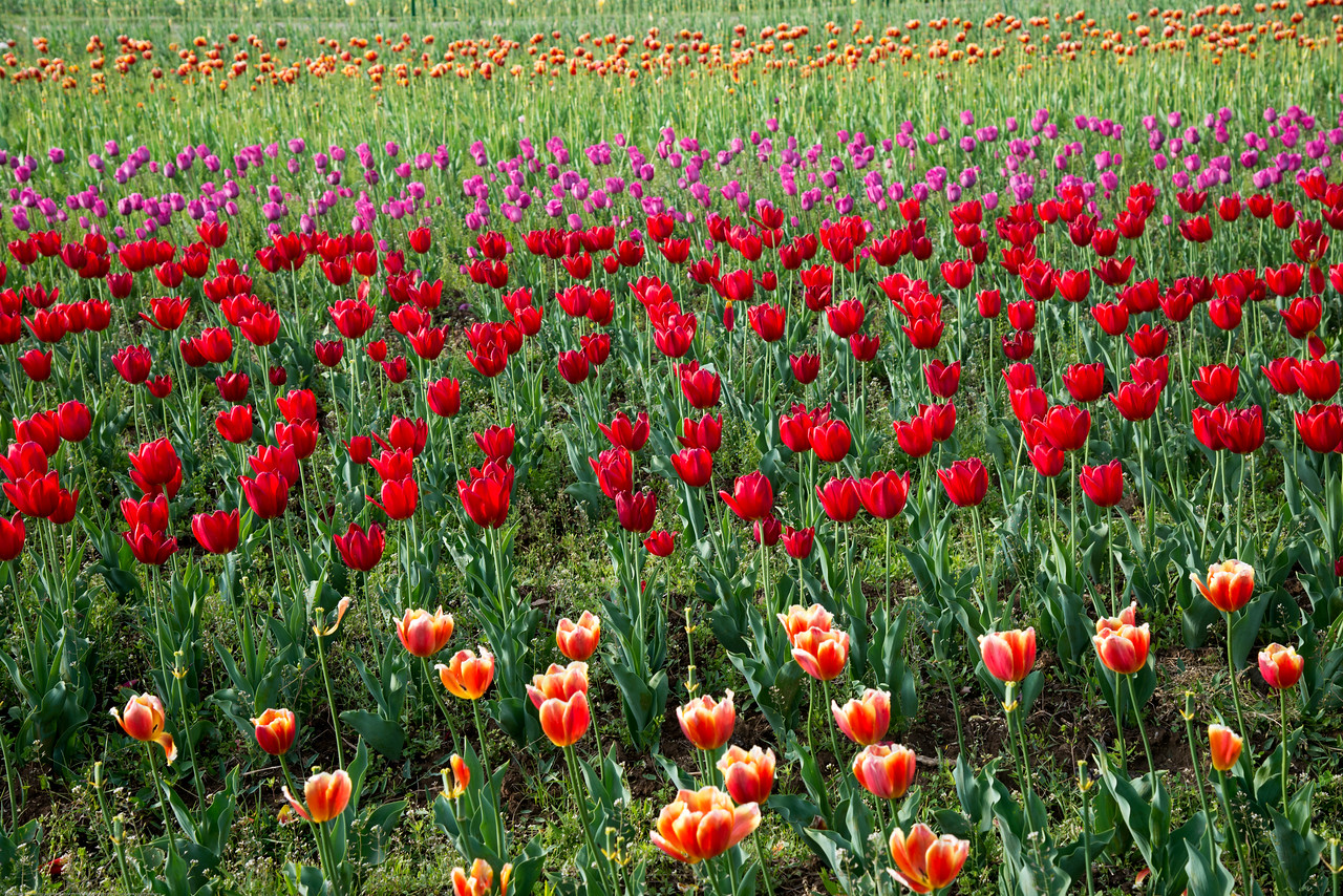 Red tulips at the Tulip Garden, Jammu and Kashmir, India. Asia's Largest, with 20 lakh tulips of 46 varieties spread over 30 hectares in the foothills of the snow-clad Zabarwan range.