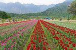 Tulip Garden, Jammu and Kashmir, India. Asia?s Largest, with 20 lakh tulips of 46 varieties spread over 30 hectares in the foothills of the snow-clad Zabarwan range.