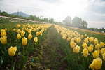 Rows of tulips in bloom at the Tulip Garden, Jammu and Kashmir, India. Asia?s Largest, with 20 lakh tulips of 46 varieties spread over 30 hectares in the foothills of the snow-clad Zabarwa ...