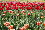 Red tulips at the Tulip Garden, Jammu and Kashmir, India. Asia?s Largest, with 20 lakh tulips of 46 varieties spread over 30 hectares in the foothills of the snow-clad Zabarwan range.