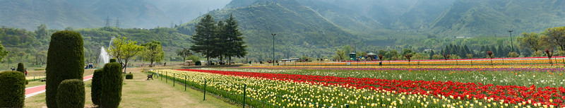 Panoramic image at Tulip Garden, Srinagar, Jammu and Kashmir, India. Asia's Largest, with 20 lakh tulips of 46 varieties spread over 30 hectares in the foothills of the snow-clad Zabarwan range.