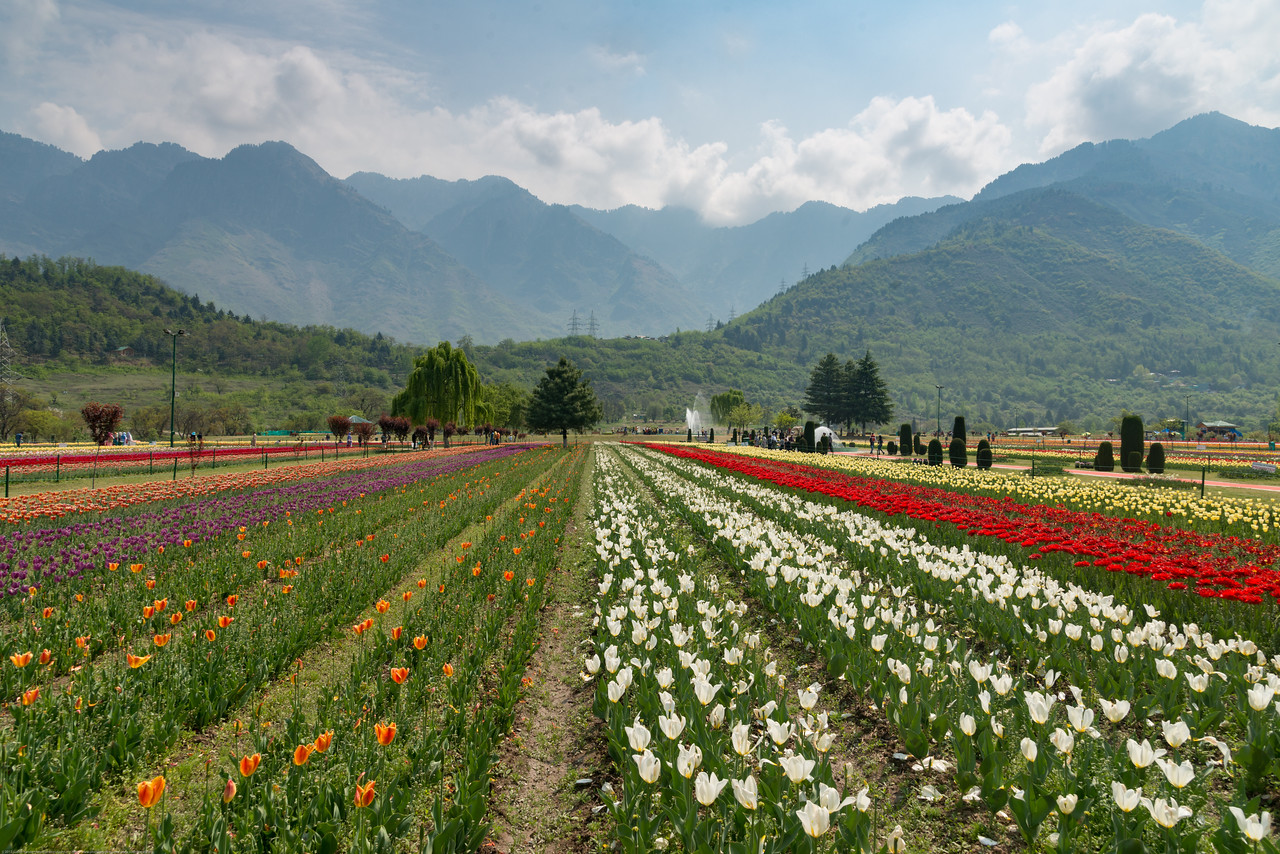 Rows of tulips in Tulip Garden, Srinagar, Jammu and Kashmir, India. Asia's Largest, with 20 lakh tulips of 46 varieties spread over 30 hectares in the foothills of the snow-clad Zabarwan range.