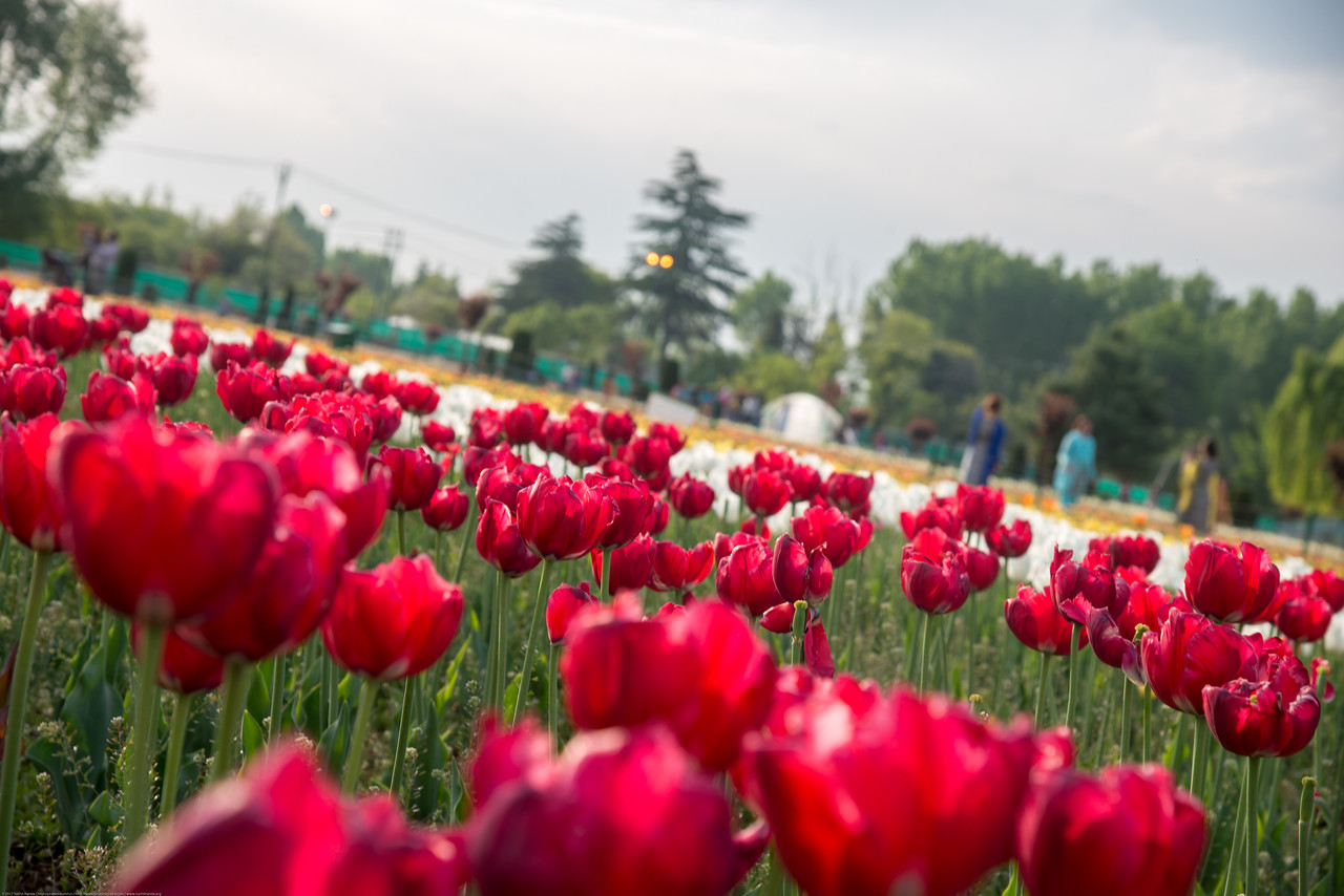 Beautiful tulips in bloom at the Tulip Garden, Jammu and Kashmir, India. Asia's Largest, with 20 lakh tulips of 46 varieties spread over 30 hectares in the foothills of the snow-clad Zabarwan range.