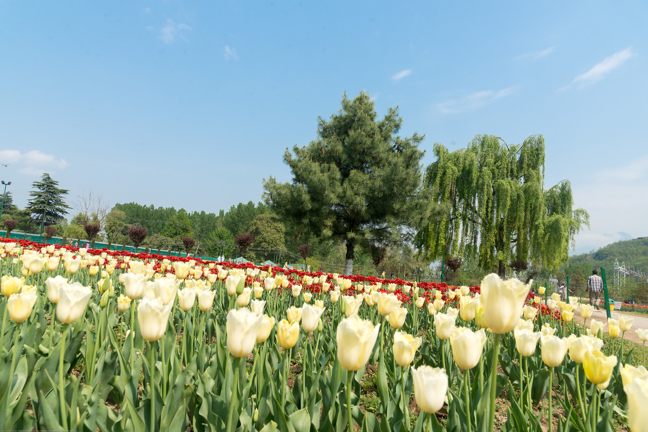 Tulip Garden, Jammu and Kashmir, India. Asia's Largest, with 20 lakh tulips of 46 varieties spread over 30 hectares in the foothills of the snow-clad Zabarwan range.