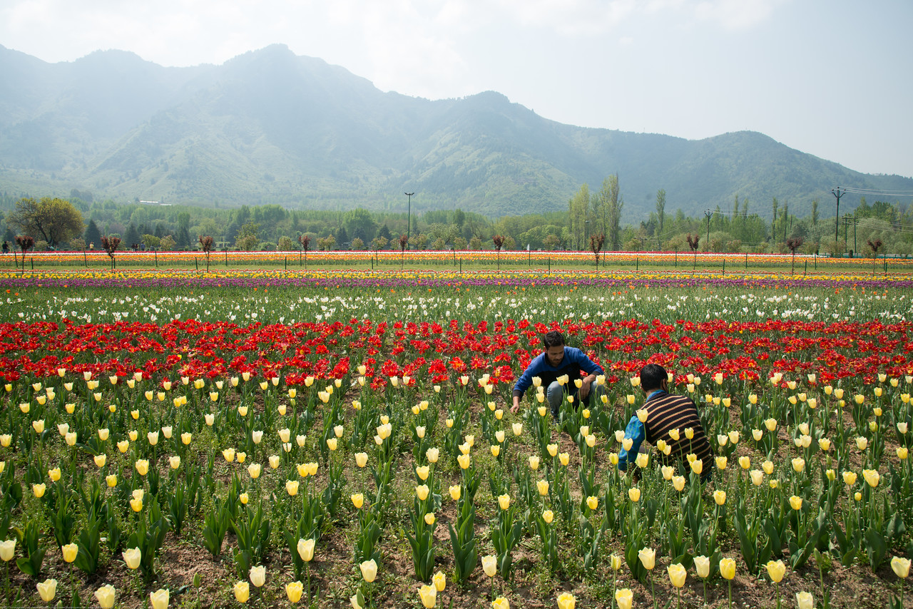 Gardners working in Tulip Garden, Srinagar, Jammu and Kashmir, India. Asia's Largest, with 20 lakh tulips of 46 varieties spread over 30 hectares in the foothills of the snow-clad Zabarwan range.