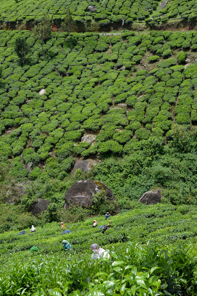"Women plucking tea leaves in the tea estate. Munnar is an attractive destination with the world's best and renowned tea estates. There are more than 50 tea estates in and around Munnar. Most of the plantations are taken over by the Tata Group. Some of the major tea estates in Munnar include Harrison Malayalam, AVT tea, Michael's tea, Brooke Bond etc. It is one of the biggest centers of tea trade in India. Tea or Chai is the most widely drunk beverage in the whole world. The tea plant, Camellia Sansis, is a cultivated variety of a Tea planttree that has its origins in an area between India and China. <br /> <br /> Munnar ( മുന്നാർ ) is situated on the Kannan Devan Hills ( KDH ) Village in Devikulam taluk. Munnar is a famous hill station on the Western Ghats of India. A range of mountains situated in the Idukki district of the Indian state of Kerala. The name Munnar means ""three rivers"", referring to the town's strategic location at the confluence of the Madhurapuzha, Nallathanni and Kundaly rivers."